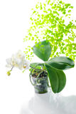 White orchid in flowerpot with leaves fern, isolated o. Blooming white orchid in flowerpot with leaves fern, isolated on white background royalty free stock photography