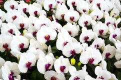 White orchid flowers Stock Images