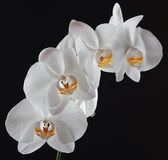 White Orchid Flowers. Orchid white flowers on black background Stock Photos