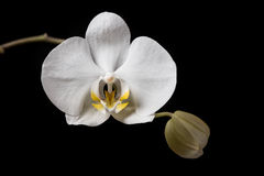 White Orchid. White orchid flowers  on black background Royalty Free Stock Photo