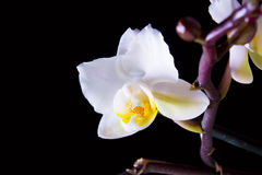White Orchid flowers on black background Stock Image