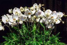 White orchid flowers on black Stock Images