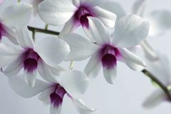 White orchid flowers in bloom royalty free stock photo