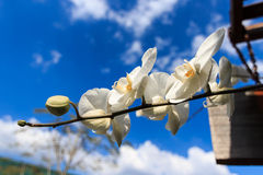 White Orchid flowers with blue sky background Royalty Free Stock Photos