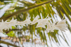 White orchid flowers in the blue sky in Phuket Thailand. Beautiful white orchid flowers in the blue sky in Phuket Thailand royalty free stock photo