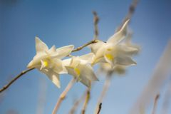 White orchid flowers in the blue sky in Phuket Thailand Stock Photo
