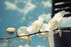 White Orchid flowers with blue sky vintage style Stock Photos