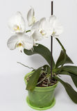 White orchid flowers. Branch with white orchid flowers Stock Photos