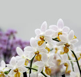 White orchid flowers branch Royalty Free Stock Photography