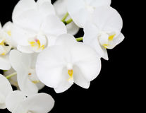 White Orchid flowers closeup Stock Photos
