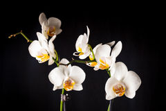 White orchid flowers Stock Photos