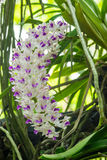 White orchid flowers Royalty Free Stock Photo
