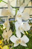 White orchid flowers with green leaf Stock Images