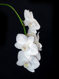 White orchid flowers isolated on black Royalty Free Stock Images