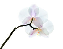 White orchid flowers isolated on white, back side Stock Photo