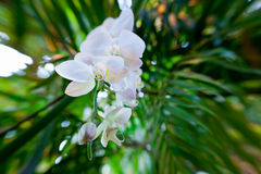 White Orchid Flowers Royalty Free Stock Photography