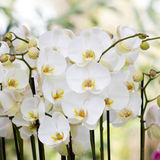 White orchid flowers - phalaenopsis Stock Images