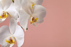 White orchid flowers on a pink background Royalty Free Stock Photo