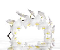 White orchid flowers. Reflected in the water royalty free stock image