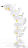 White orchid flowers Royalty Free Stock Photos