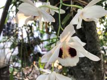 White orchid flowers on the tree royalty free stock photo