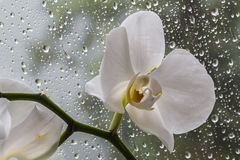 White orchid in glass during rain Stock Images