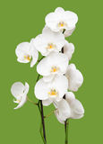 White orchid on green Royalty Free Stock Photo
