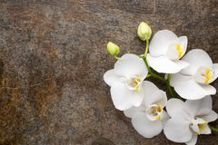 White orchid on the grey background. Royalty Free Stock Photo