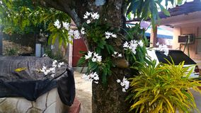 White orchid grows in a mango tree Royalty Free Stock Photo