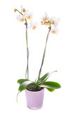 White orchid grows in pot Royalty Free Stock Photos