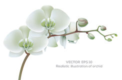 White orchid. Horizontal photo realistic illustration of white orchid royalty free illustration