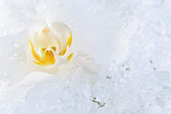 White orchid on a ice Stock Photography