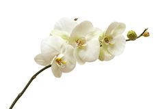 White orchid isolated Royalty Free Stock Image