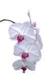 White orchid isolated. A isolated picture of a white and pink orchid on a white background Stock Photos