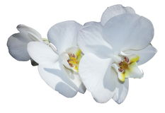 White orchid isolated Royalty Free Stock Photography