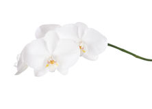 White orchid. Royalty Free Stock Images