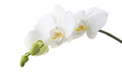 White orchid. Stock Photos