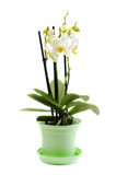 White orchid on isolated background Royalty Free Stock Image