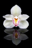 White orchid. White orchid isolated on black Royalty Free Stock Images