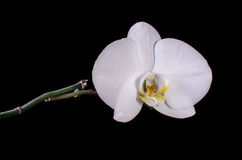 White orchid isolated on black Stock Image