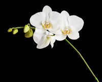 White orchid isolated on black background. Royalty Free Stock Images