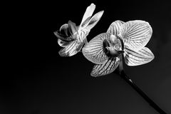 White orchid isolated black Royalty Free Stock Photography