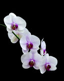 White orchid isolated Royalty Free Stock Images