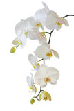 White orchid isolated on white Stock Image