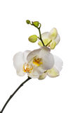 White orchid isolated on white Stock Photo