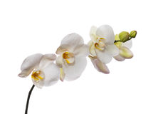 White orchid isolated on white Stock Photography