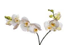 White orchid isolated on white Stock Photos