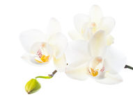 white orchid is   isolated on white  background Royalty Free Stock Photography