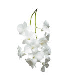 White orchid isolated white background Royalty Free Stock Image