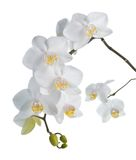 White orchid isolated on white. Stock Photos